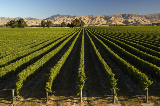 Marlborough Vineyard 2